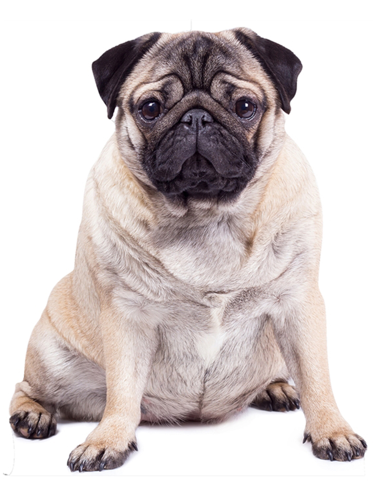 Pug Dog Giant Cut Out