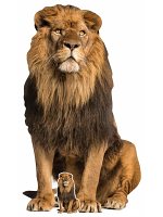 Adult Male Lion King of the Jungle Sitting