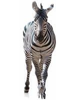 Adult Zebra Black and White